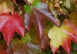 Őszi pompájában látható az ország leggazdagabb juhargyűjteménye a Vácrátóti Arborétumban